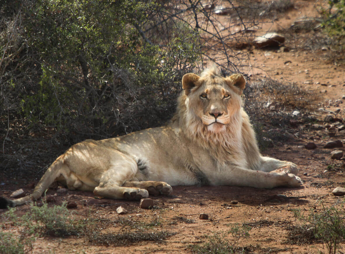 Buffelsdrift offers a spa, bush safaris, elephant, roaming cheetah and lion experiences