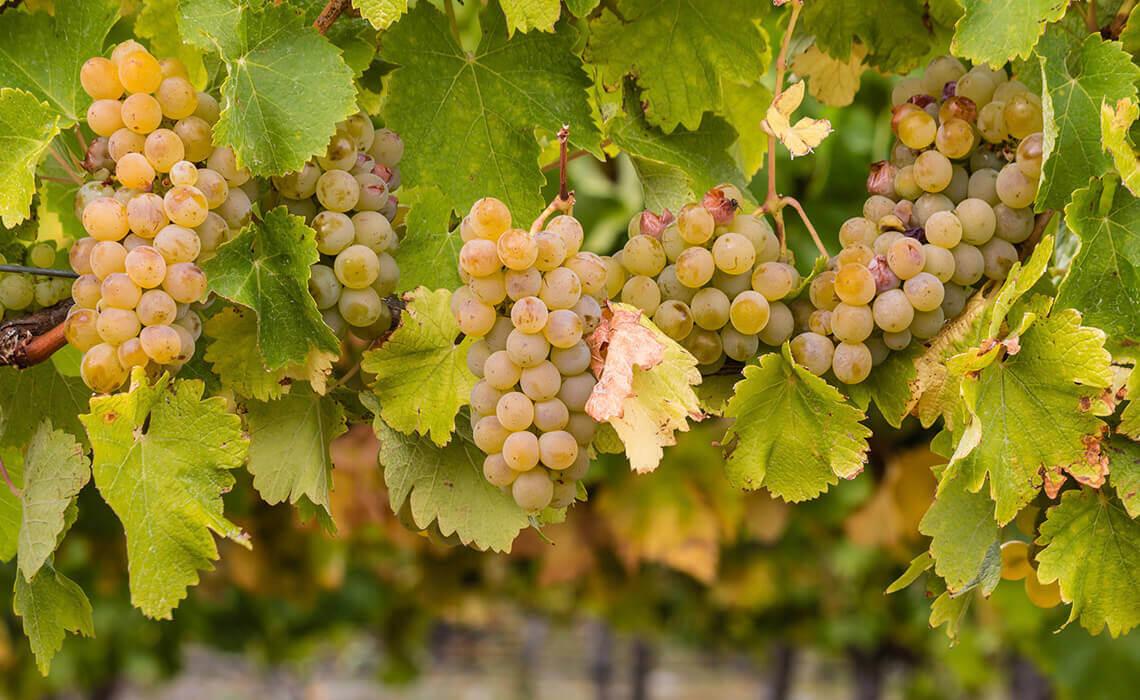 Sip & Read | Chardonnay Grapes
