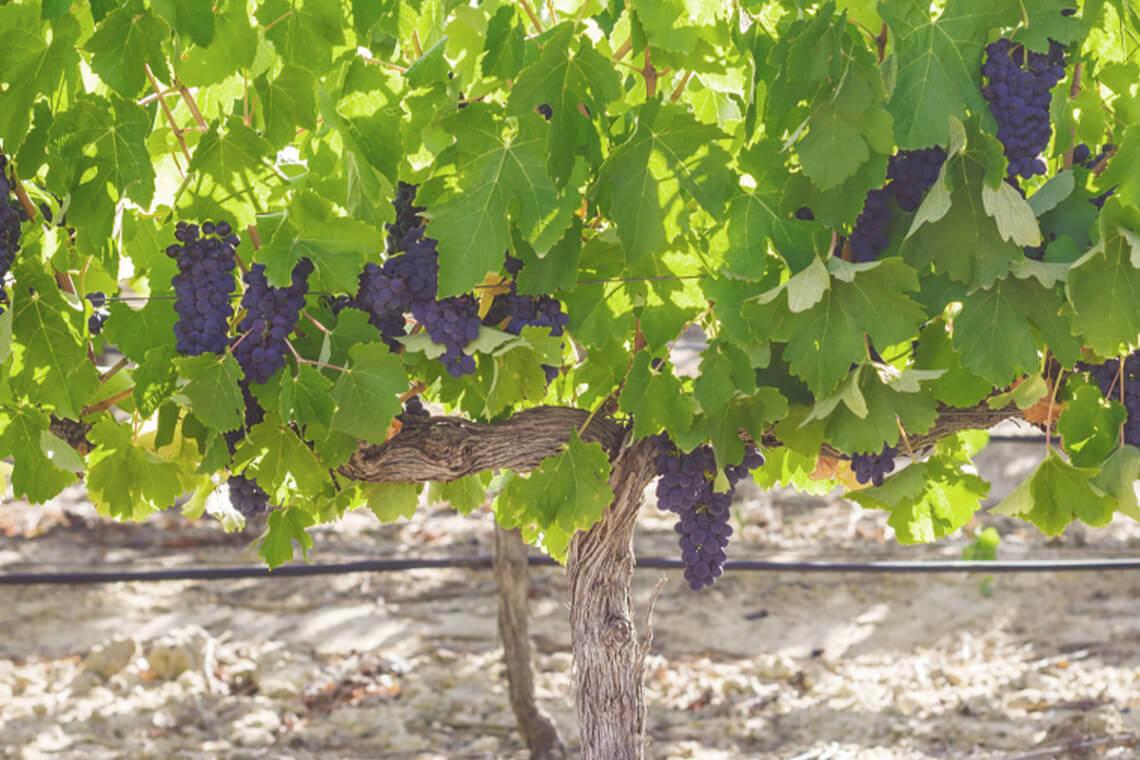 Sip & Read   Pinotage Grapes