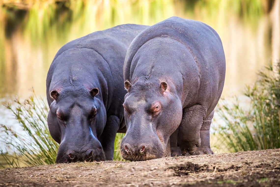 Sip & Read   Hippos